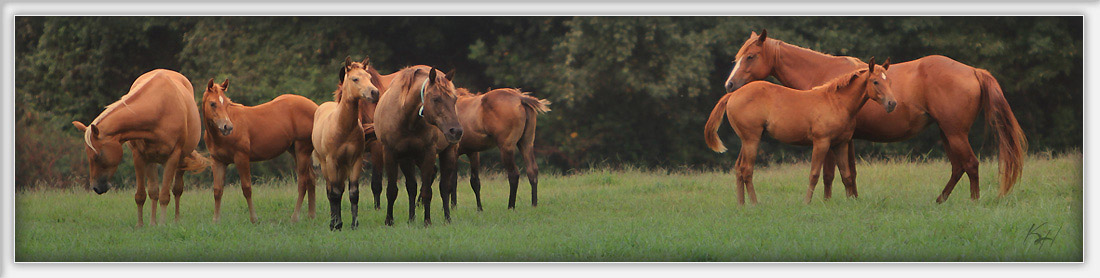 Grazing mares and foals